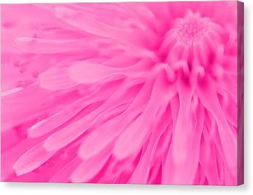 Bright Pink Dandelion Close Up Canvas Print by Natalie Kinnear