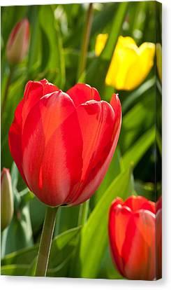 Bright Red Tulip Canvas Print by Karol Livote