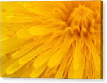 Bright Yellow Dandelion Flower Canvas Print by Natalie Kinnear