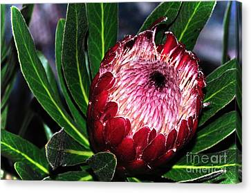 Bright'n'happy Protea Canvas Print by Kaye Menner