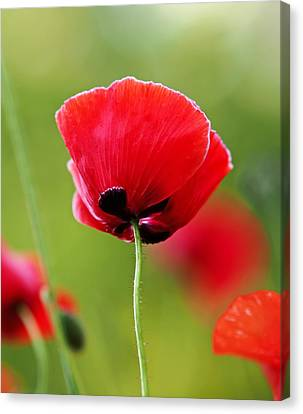 Brilliant Red Poppy Flower Canvas Print by Rona Black