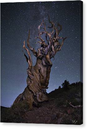 Bristlecone Ballet Canvas Print by Peter Coskun