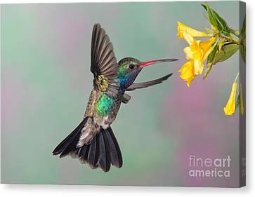 Broad-billed Hummingbird Canvas Print by Jim Zipp