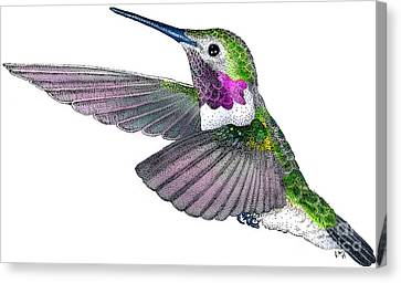 Broad-tailed Hummingbird Canvas Print by Roger Hall
