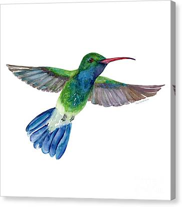 Broadbilled Fan Tail Hummingbird Canvas Print by Amy Kirkpatrick