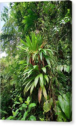 Bromeliad Growing In The Rainforest Canvas Print by Susan Degginger