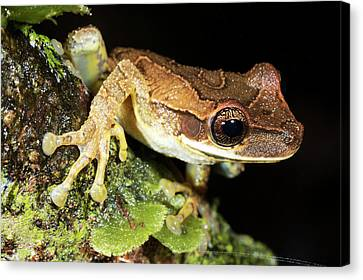 Bromeliad Treefrog Canvas Print by Dr Morley Read