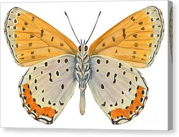 Bronze Copper Butterfly Canvas Print by Anonymous