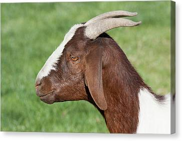 Brown And White Domestic Goat Canvas Print by Piperanne Worcester