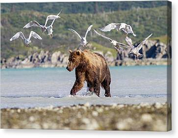 Brown Bear And Seagulls Canvas Print by John Devries