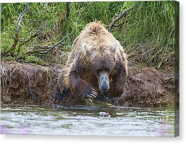 Brown Bear Diving Into The Water After The Salmon Canvas Print by Dan Friend