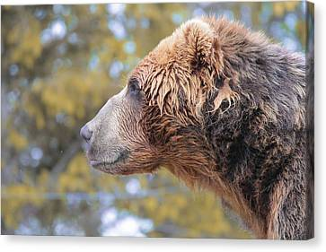 Brown Bear Smile Canvas Print by Dan Sproul