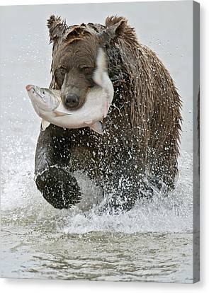 Brown Bear With Salmon Catch Canvas Print by Gary Langley