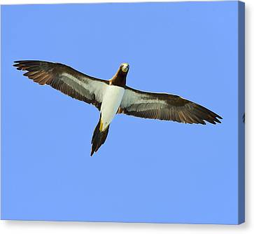 Brown Booby Canvas Print by Tony Beck