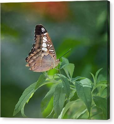 Brown Butterfly Canvas Print by Kim Hojnacki