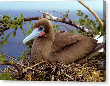 Brown Color Morph Of Red-footed Booby Canvas Print by Thomas Wiewandt