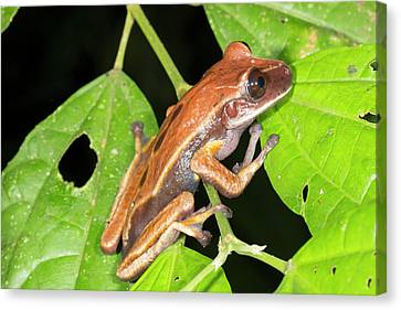 Brown Eyed Treefrog Canvas Print by Dr Morley Read