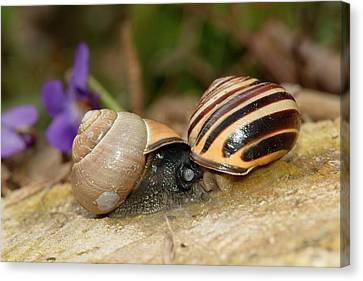Brown-lipped Snails Mating Canvas Print by Dr. John Brackenbury