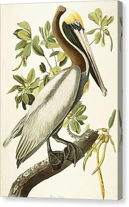 Brown Pelican Canvas Print by John James Audubon