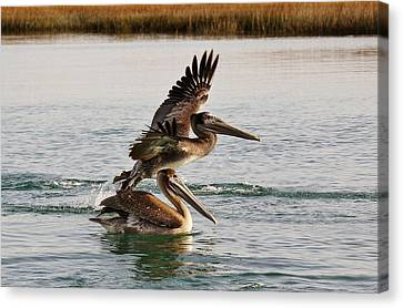 Brown Pelicans In The Marsh Canvas Print by Paulette Thomas