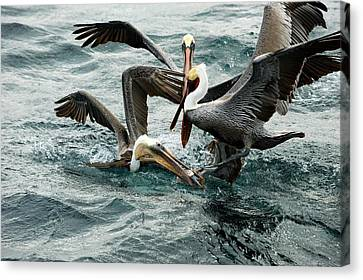Brown Pelicans Stealing Food Canvas Print by Christopher Swann