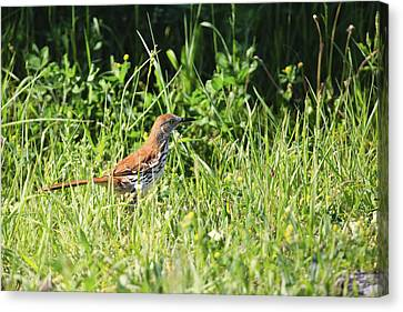 Brown Thrasher 3 Canvas Print by Gary Hall