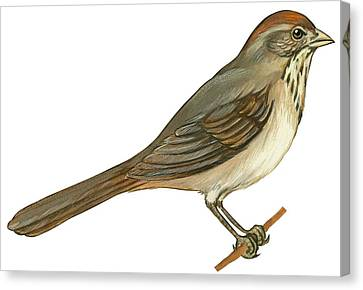 Brown Towhee Canvas Print by Anonymous