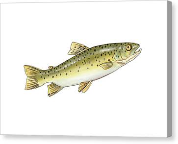 Brown Trout, Artwork Canvas Print by Science Photo Library