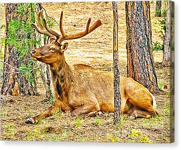 Browsing Elk In The Grand Canyon Canvas Print by Bob and Nadine Johnston