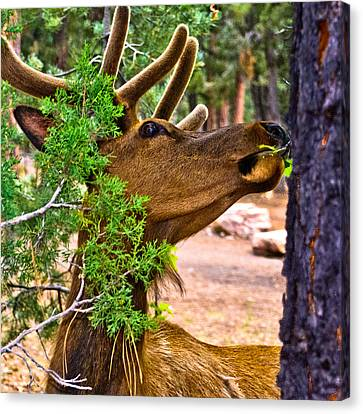 Browsing Red Deer In The Grand Canyon Canvas Print by Bob and Nadine Johnston