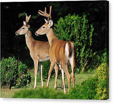 Bucks In Silk Canvas Print by Angel Cher