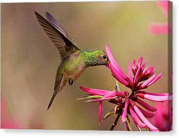 Buff-bellied Hummingbird (amazilia Canvas Print by Larry Ditto