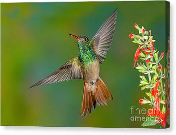 Buff-bellied Hummingbird Canvas Print by Anthony Mercieca