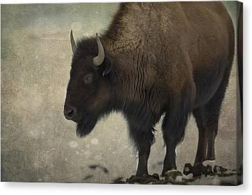 Buffalo Canvas Print by Juli Scalzi