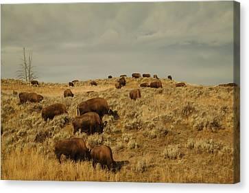 Buffalo On The Prairie Canvas Print by Jeff Swan