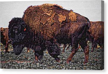 Bull Buffalo Canvas Print by Daniel Hagerman