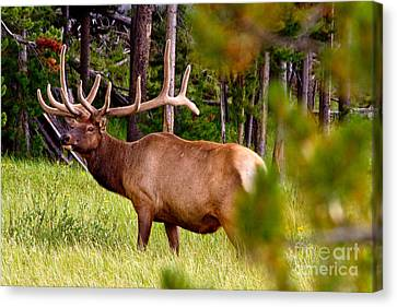 Bull Elk Canvas Print by Bill Gallagher