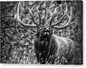 Bull Elk Bugling Black And White Canvas Print by Ron White