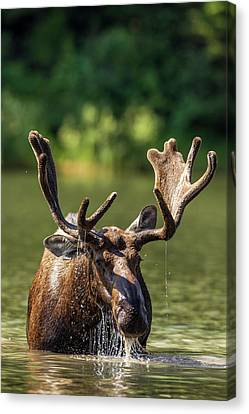 Bull Moose Feeding In Backcountry Lake Canvas Print by Chuck Haney