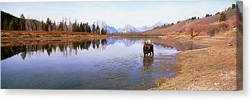 Bull Moose Grand Teton National Park Wy Canvas Print by Panoramic Images