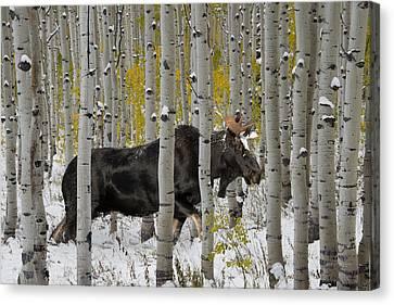 Bull Moose In Autumn Canvas Print by Leland D Howard