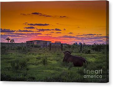 Bull Sunset Canvas Print by Marvin Spates
