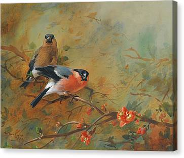 Bullfinches And Pyrus Japonica Canvas Print by Archibald Thorburn