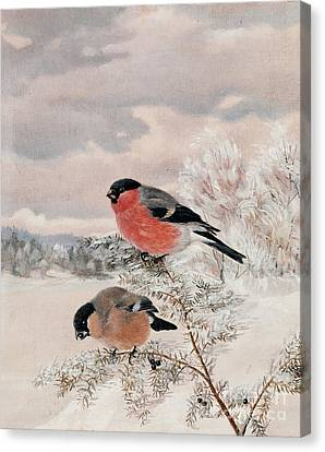 Bullfinches Canvas Print by Celestial Images