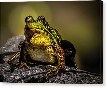 Bullfrog Watching Canvas Print by Bob Orsillo