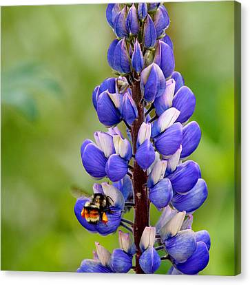 Bumble Bee And Lupine Canvas Print by Art Block Collections