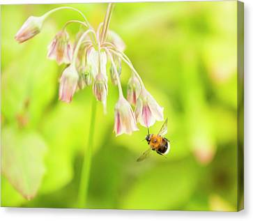Bumble Bee Gathering Pollen Canvas Print by Ashley Cooper