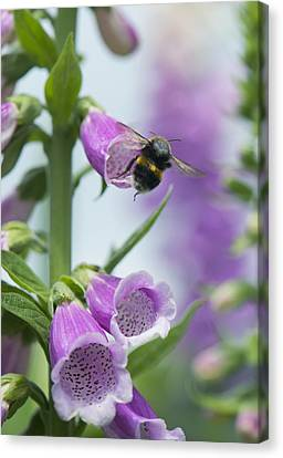 Bumblebee On Foxglove Canvas Print by Science Photo Library