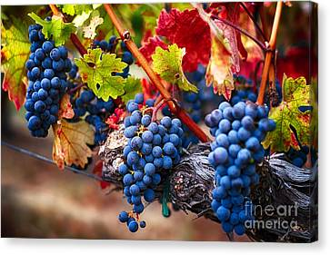 Bunch Of Blue Grapes On The Vine Canvas Print by George Oze