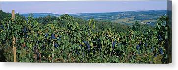 Bunch Of Grapes In A Vineyard, Finger Canvas Print by Panoramic Images